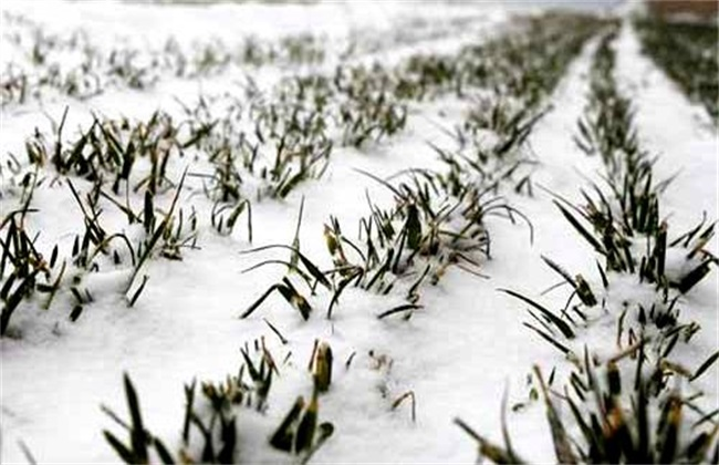 小麦冻害 预防措施 补救措施