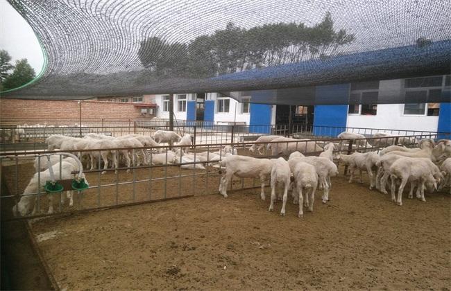 舍饲养羊 舍饲养殖要点 养羊