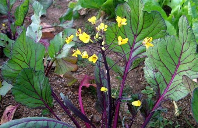 红菜苔 追肥要点 红菜苔施肥
