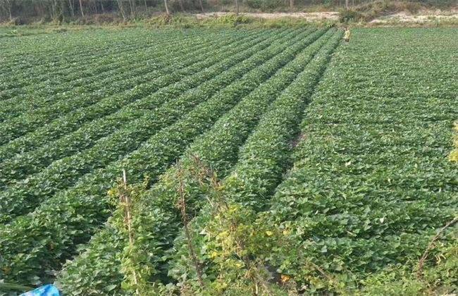 毛薯的种植时间与方法