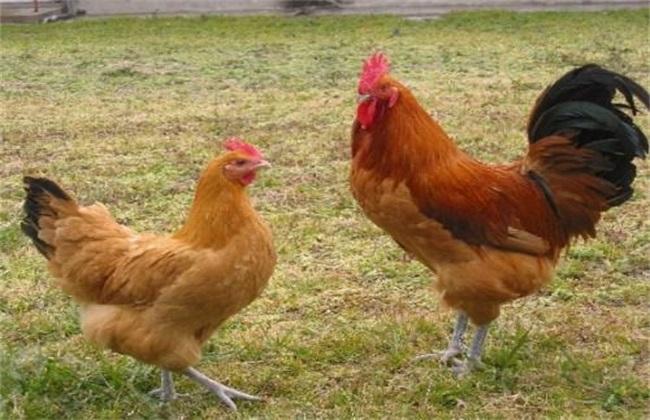 生态养鸡怎么选择鸡种