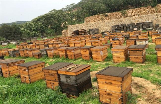 农村土蜜蜂养殖技术