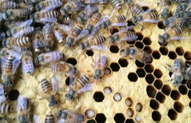 中蜂巢虫的防治技术