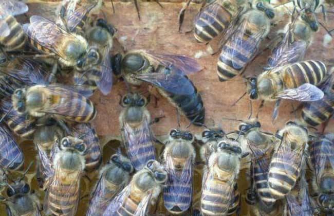 养蜂该如何有效防止蜂王逃跑