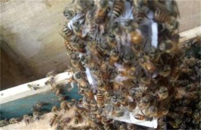 蜜蜂围王的原因及解决方法