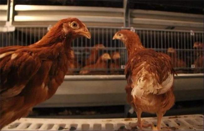 育成蛋鸡限饲原因及注意事项