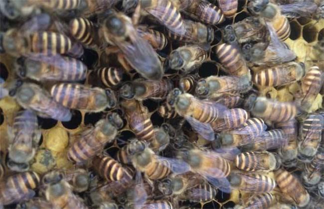 合并蜂群 如何防止 回蜂现象