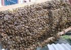 蜂群失王多久灭亡