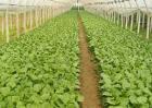 秋季蔬菜种植管理
