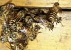 蜜蜂巢门结团是怎么一回事