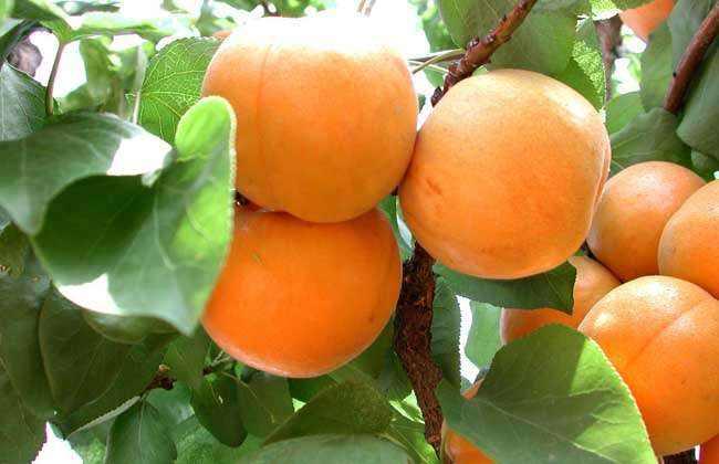 杏子什么时候播种