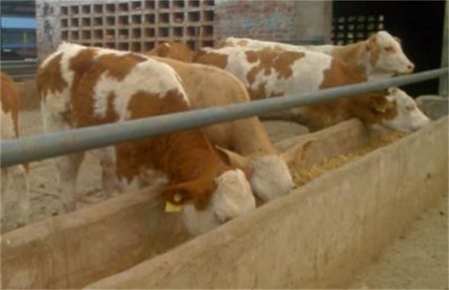 酒槽喂牛的好处及注意事项