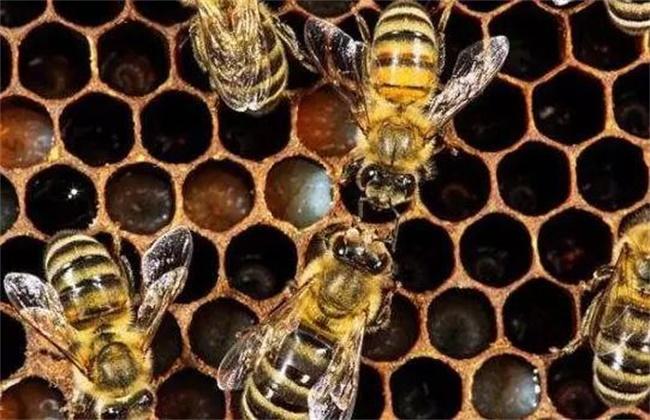 工蜂产卵原因及处理方法