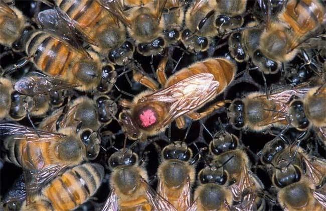 蜂王不产卵是什么原因