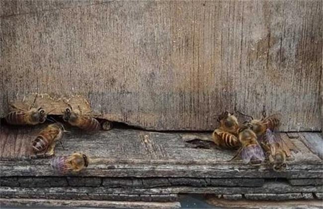 蜂箱口出现死蜂 死蜂原因
