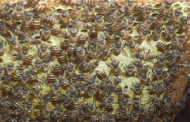 蛋群养成强群 蜜蜂蛋群养殖