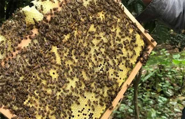 中蜂分蜂热的防治方法