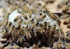 怎么将蜜蜂蛋群养成强群