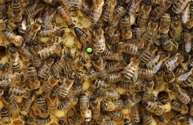 意蜂 秋季养殖管理技术
