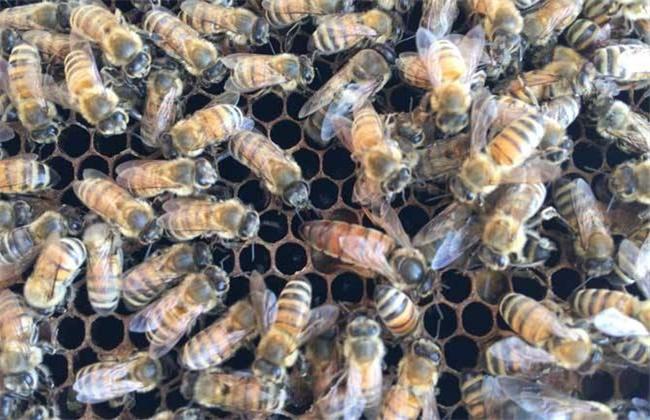意蜂秋季养殖管理技术