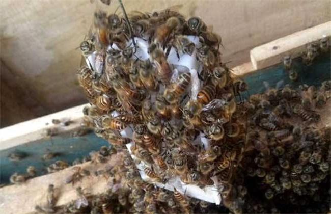 蜜蜂逃跑前征兆 蜜蜂逃跑原因