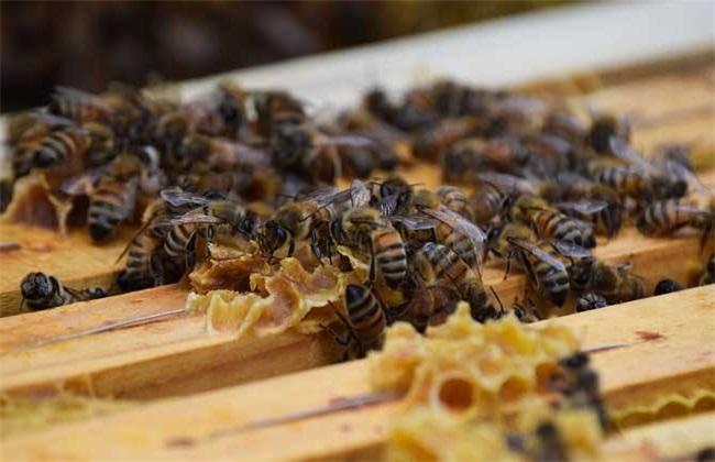 养蜂怎么防止自然分蜂