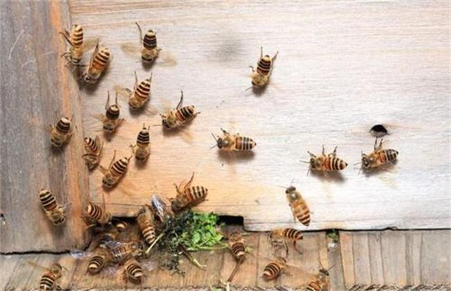 意蜂和中蜂可以一起养吗