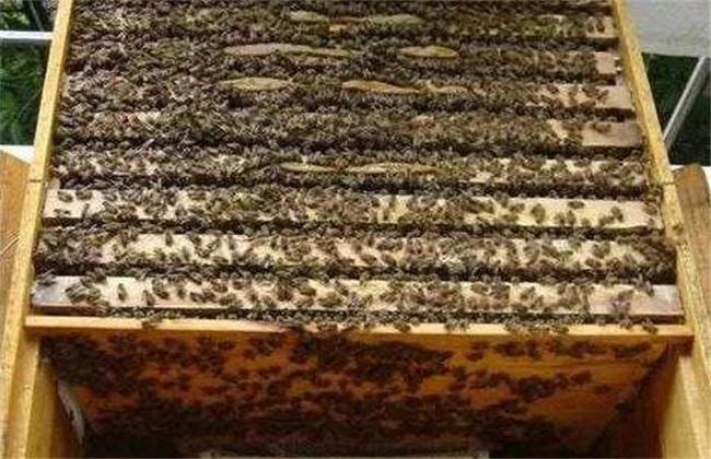 中蜂怎么合并蜂群