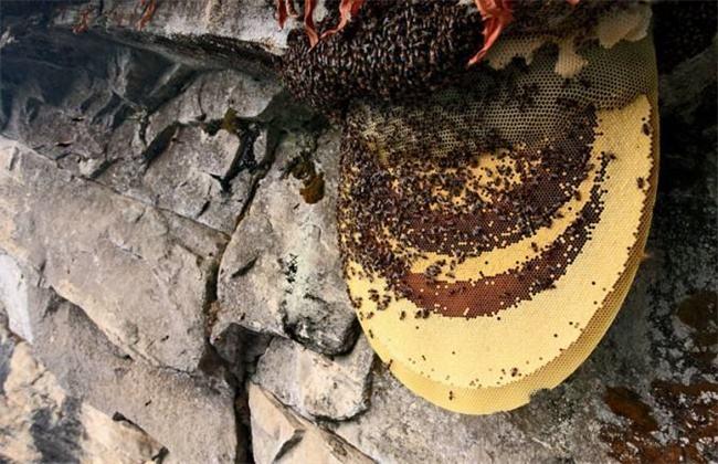 野蜜蜂怎么养不会跑
