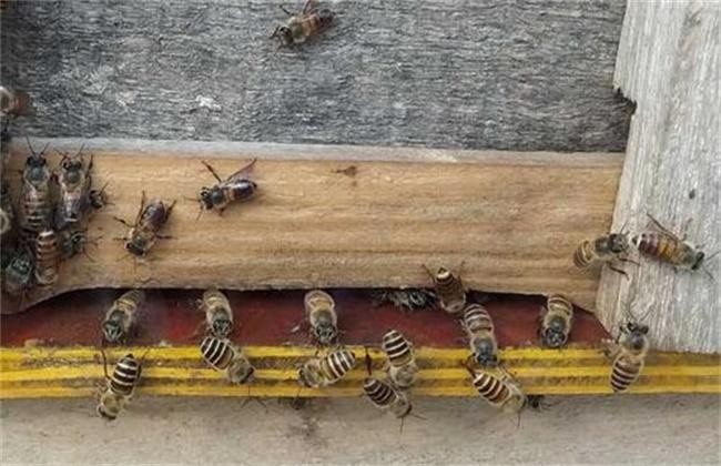 中蜂什么时候过箱最好