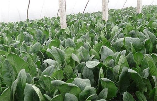 2019菠菜多少钱一斤