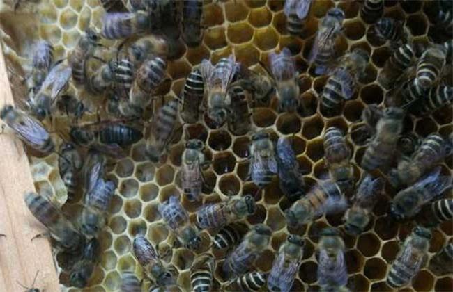 工蜂产卵会导致灭群吗?工蜂产卵补救措施