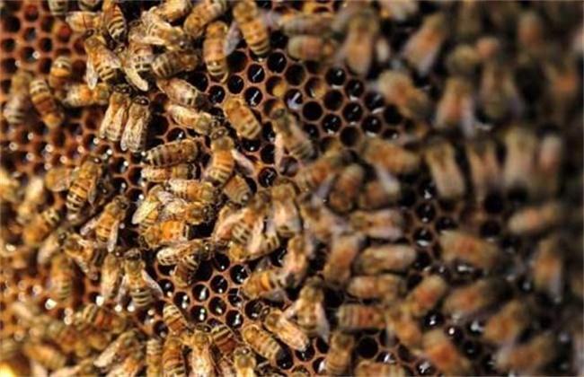 蜜蜂不出巢是什么原因