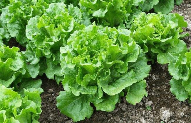 生菜怎怎么种?生菜的种植时间和方法