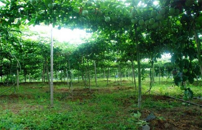 百香果种植 百香果种植管理