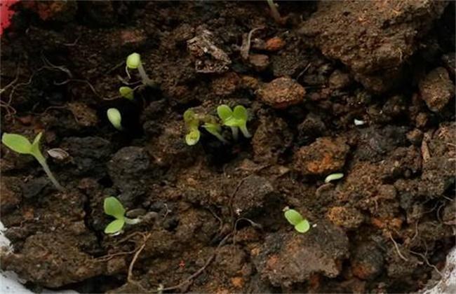 生菜怎么种植容易发芽?生菜浸种催芽技术