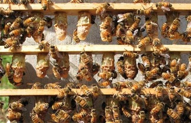 蜜蜂割脾育王技术