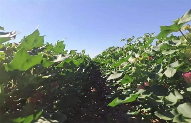 棉花种植怎么管理?棉花高产种植技术