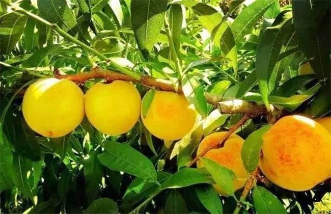 黄桃的功效与作用