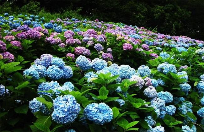 绣球花繁殖 绣球花繁殖方法