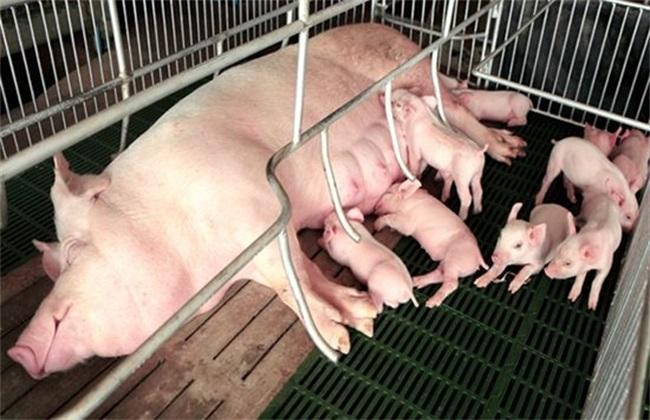影响母猪 产仔率 因素