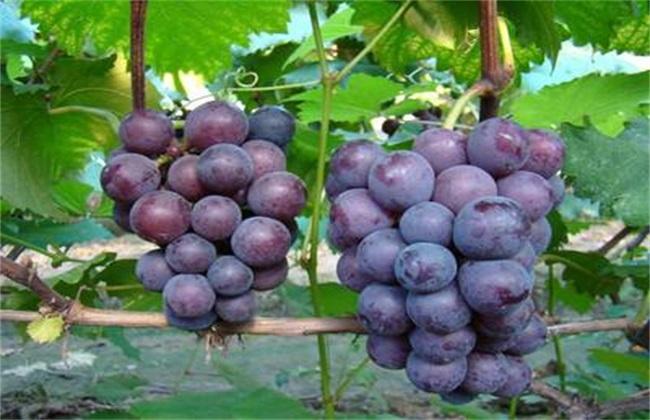 葡萄的功效与作用