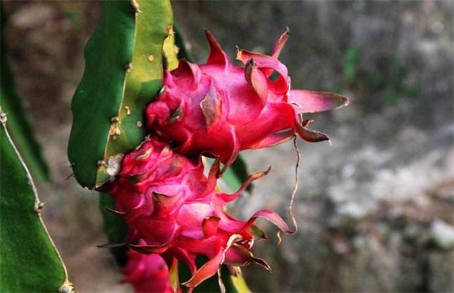 火龙果种植 火龙果种植技术