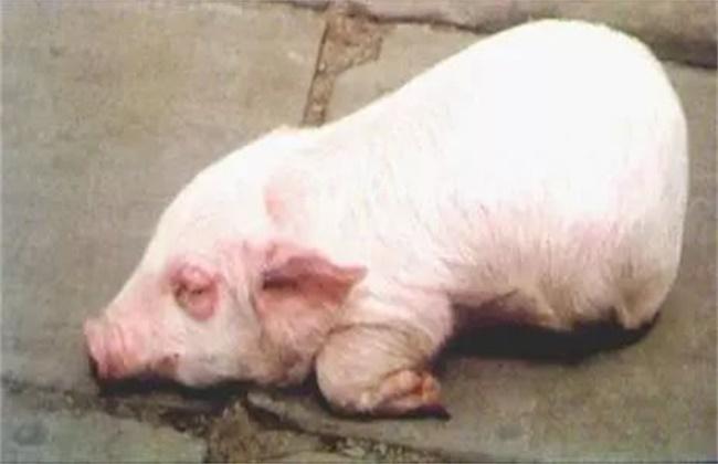 仔猪水肿病发病症状及防治方法