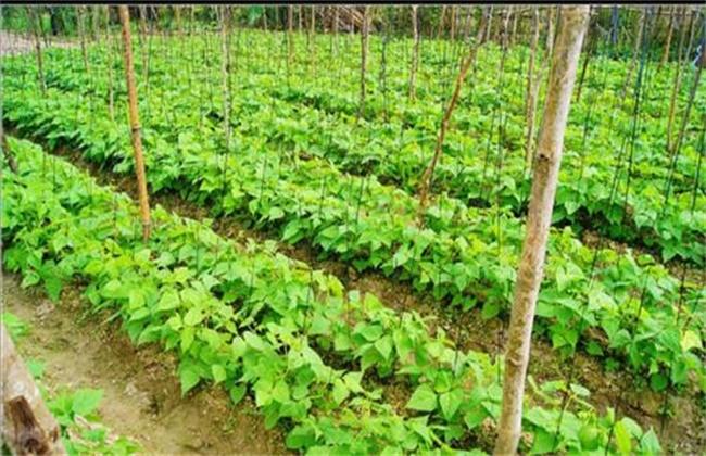 四棱豆的种植技术
