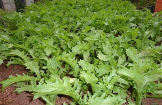 苦苣的种植技术与管理