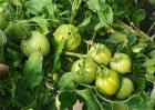 如何提高番茄的坐果率?番茄坐果率低解决方法