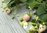 菠萝莓的生长环境