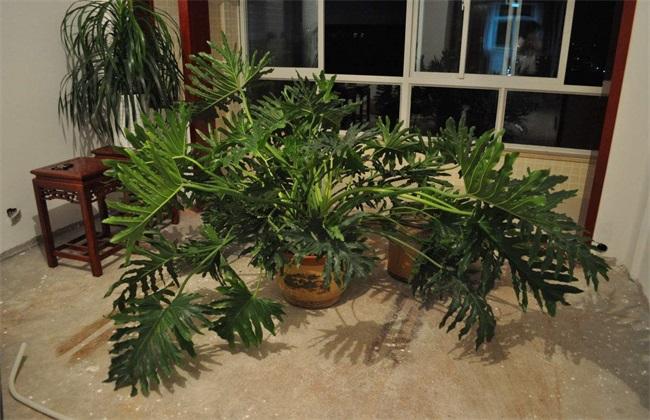 龟背竹水培生根图片