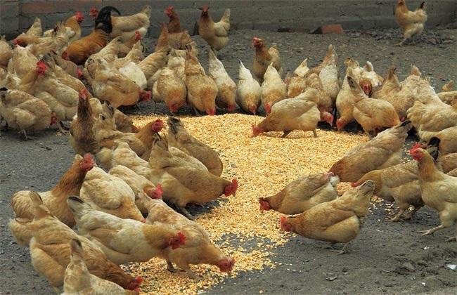 艾草养鸡 艾草养鸡的好处